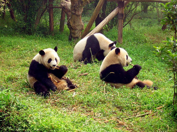 panda a Chengdu